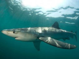 El tiburón azul (Prionace glauca) es uno de los escualos más fuertemente explotado en el océano / Neil Hammerschlag