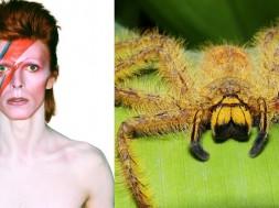 David Bowie en una de las fotografías pertenecientes al disco Aladdin Sane, publicado en 1973. A la derecha, la araña Heteropoda davidbowie nombrada en honor al artista en 2008. / Wikipedia