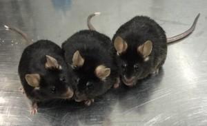 Ratolins de 12 mesos nascuts de l'esperma creat en el laboratori a partir de cèl·lules mare. / Xiao-YangZhao, Jiahao Sha,Qi Zhou