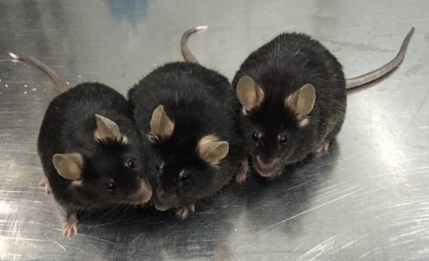 Esperma de laboratori produeix cries de ratolí sanes i fèrtils