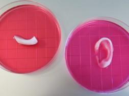 Orella i mandíbula construïdes gràcies al nou sistema integrat d'impressió de teixits d'òrgans. / Wake Forest Institute for Regenerative Medicine