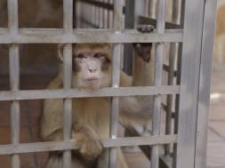 Macaco de Gibraltar rescatat. / AAP Primadomus