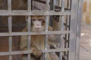 El-trafico-ilegal-de-especies-condena-a-los-macacos-de-Gibraltar_image_380