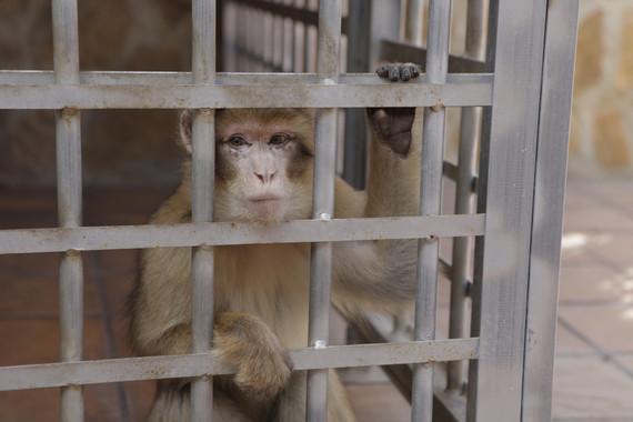 El tràfic il·legal d'espècies condemna als macacos de Gibraltar