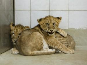 Elsa i Marley, les dues cries de lleó rescatades a Alemanya. / AAP Primadomus