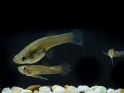 Apariament del peix mosquit. Imatge: Stuart Hi ha, ANU