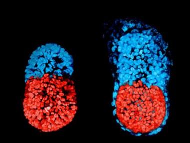 A l'esquerra, imatge de l'embrió de ratolí amb cèl·lules mare al cap de 96 hores. A la dreta, l'embrió de ratolí conreat in vitro durant 48 hores des de l'etapa de blastocist. La part vermella és embrionària i la blava, extraembrionària. / Sarah Harrison