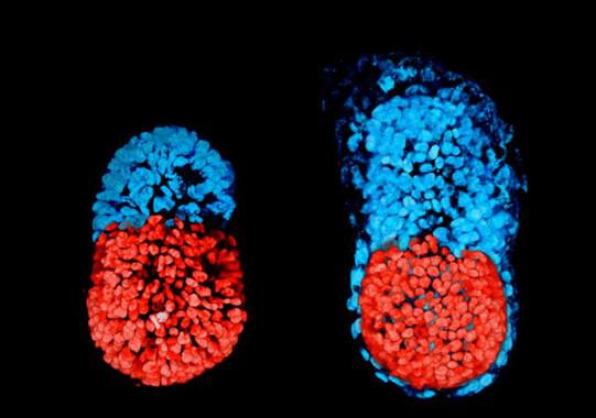 Creat el primer embrió artificial de ratolí amb cèl·lules mare