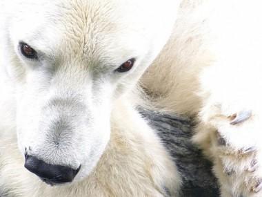 El pèl de l'ós polar tanca aire dins de cada fibra per aconseguir un bon aïllament tèrmic. / Arctic Wolf Pictures.
