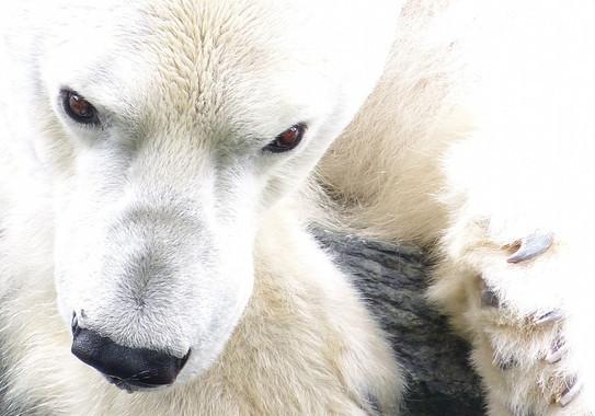 Dissenyen una membrana inspirada en el pèl de l'ós polar