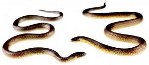 Dos exemplars de Atractus cerberus, una espècie recentment descoberta a Equador. / Alejandro Arteaga