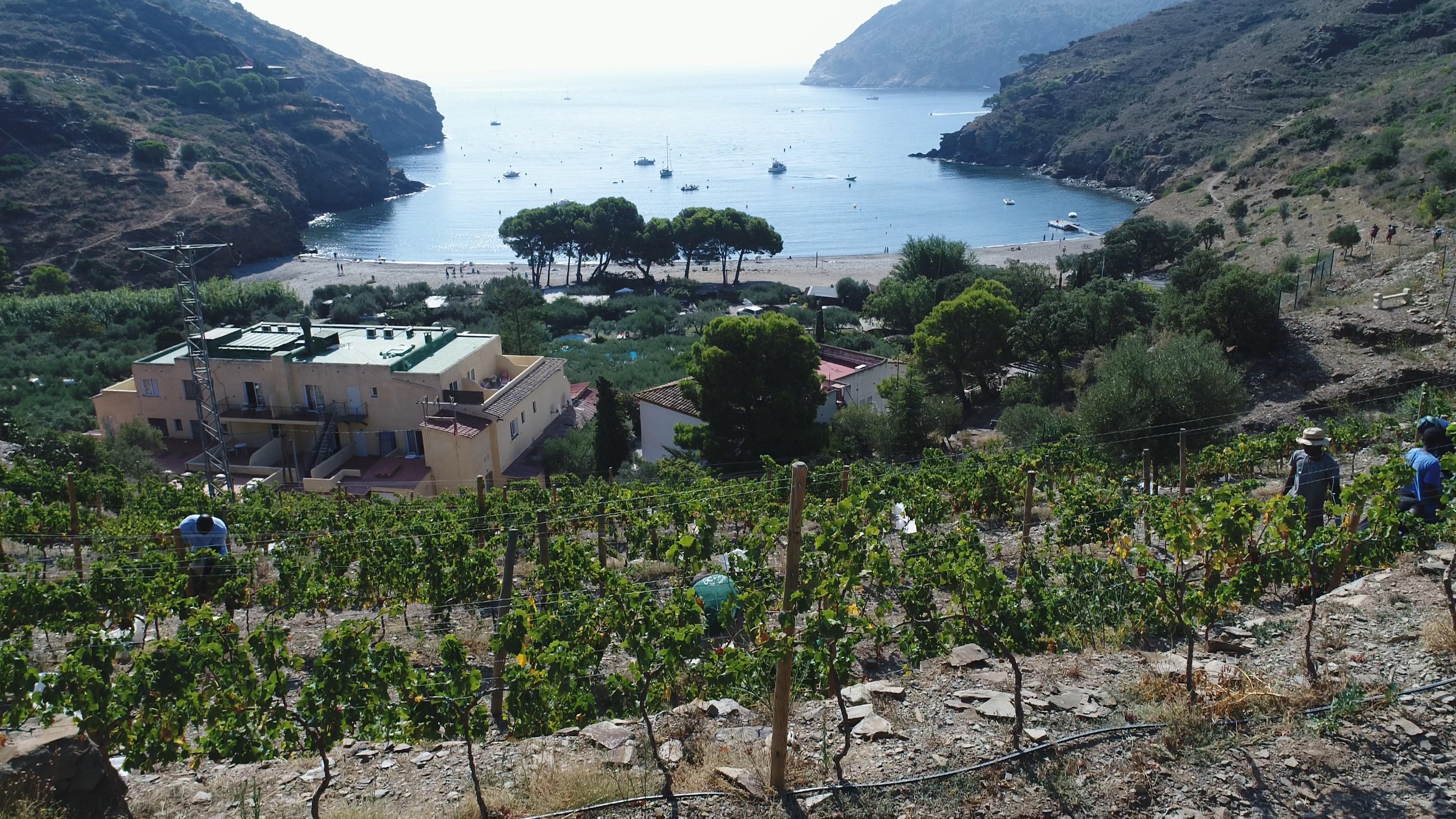 La primera verema a la vinya més petita de Catalunya, a Cala Jóncols , recull 3.000 quilos de raïm excel.lent