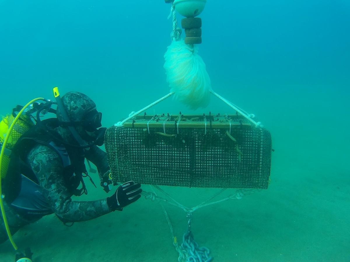 Cap a 800.000 sèpies i calamars salvats aquest any amb el Projecte Sèpia