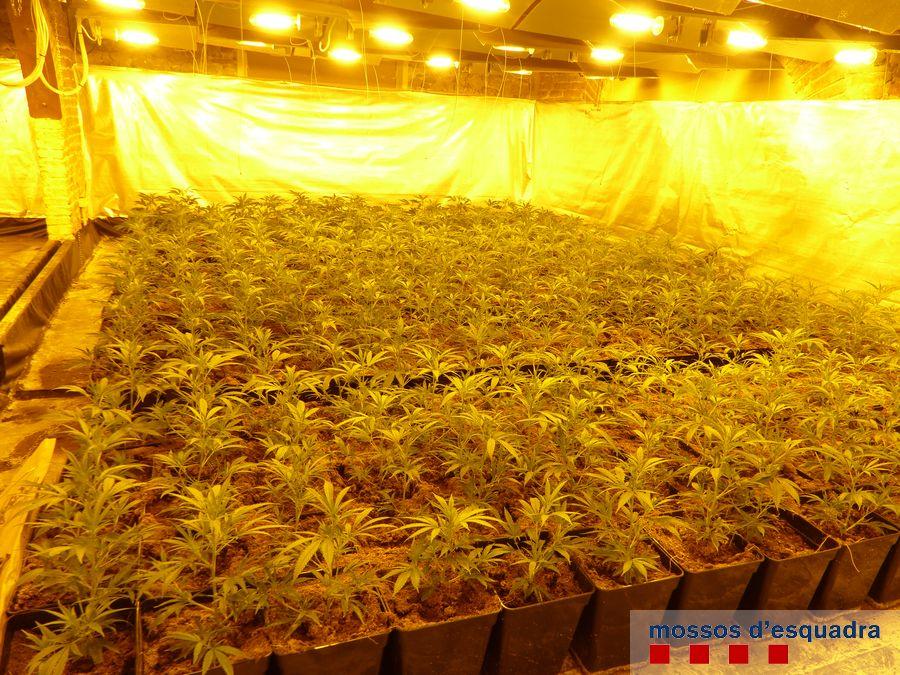 Els Mossos d'Esquadra de Roses localitzen 3.000 plantes de marihuana en una masia rural de Castelló d'Empúries