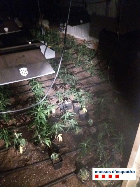 Detingut per cultivar 1.200 plantes de marihuana amagades al garatge d'un habitatge a Girona