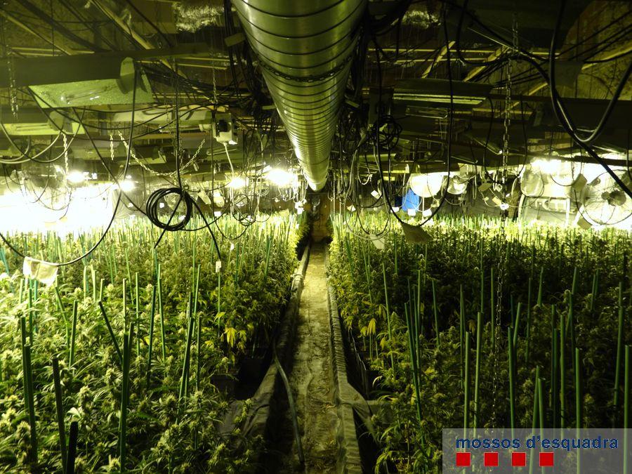 Els Mossos d'Esquadra descobreixen 3.406 plantes de marihuana ocultades en una gran nau de Figueres
