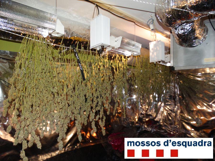 Els Mossos d'Esquadra desmantellen a l'Alt Empordà una plantació de marihuana valorada en més de 50.000 euros
