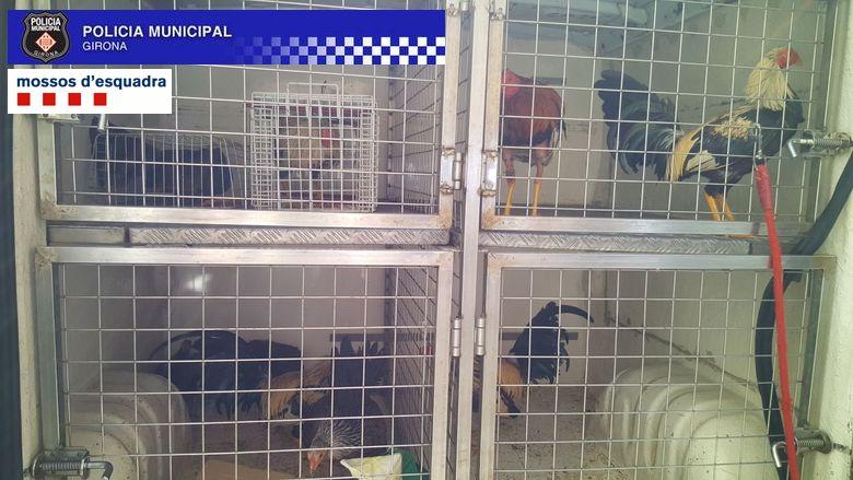 Els Mossos d'Esquadra i la Policia Municipal de Girona localitzen un punt de cria de galls per a baralles il·legals