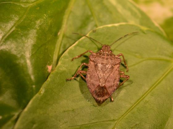 Advertència sobre la possible aparició d'un nou insecte invasor: el bernat marbrejat
