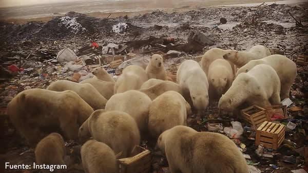 """""""Invasió"""" d'óssos polars a l'Àrtic rus"""