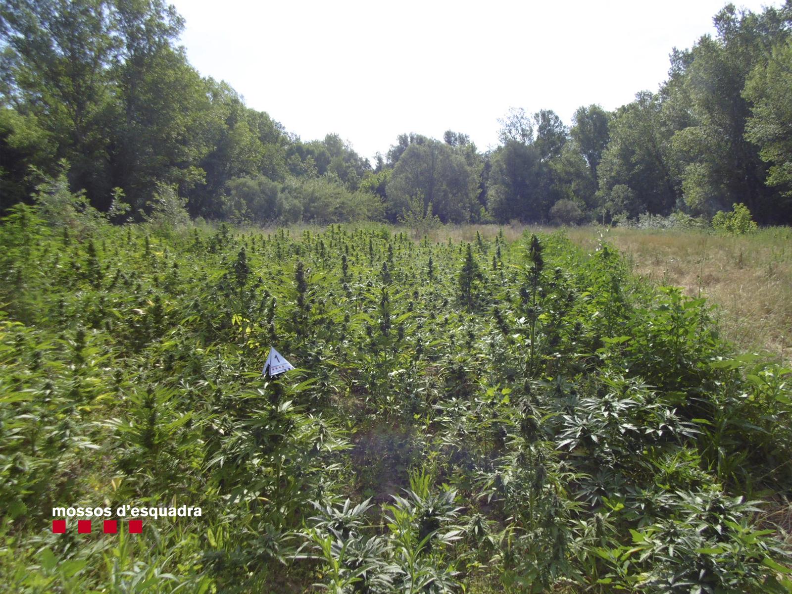 Un operatiu dirigit per la comissaria de Roses va permetre detenir tres homes i localitzar quasi 3.000 plantes de marihuana