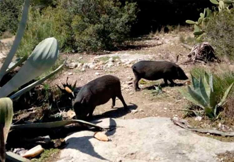 Cal regular la tinença de porcs vietnamites, pitons reials i altres espècies exòtiques invasores