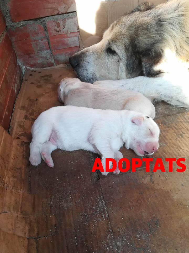 Gossets en adopció