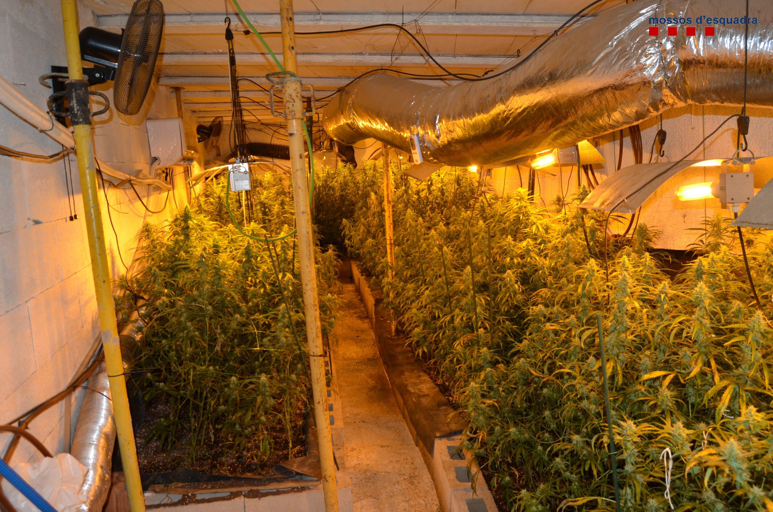 Desmantellat un grup criminal que disposava de tres plantacions interiors de marihuana a la demarcació de Girona