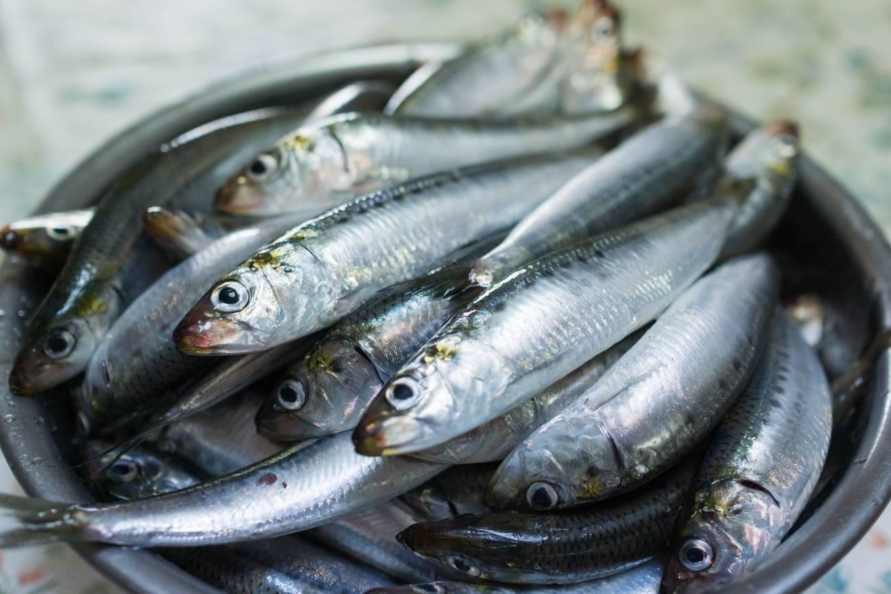 Més de la meitat de les sardines i anxoves del Mediterrani occidental tenen microplàstics en els seus intestins